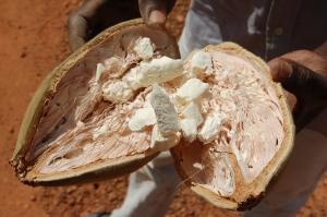 Baobab_seed_2006-03-24