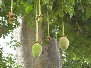 fruit baobab