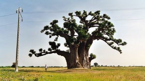 Senegal-Africa-baobab-tree-huge-jipol-best-picture-gallery
